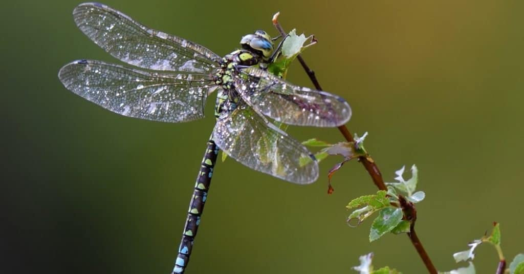 Dragonfly outdoors on wet morning