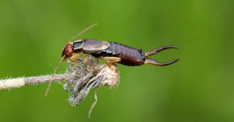 Beautiful Earwig Insect Close Up, sitting on a flower.