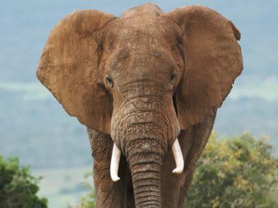 A Elephant