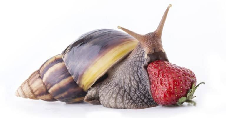 Giant African land snail isolated on white background
