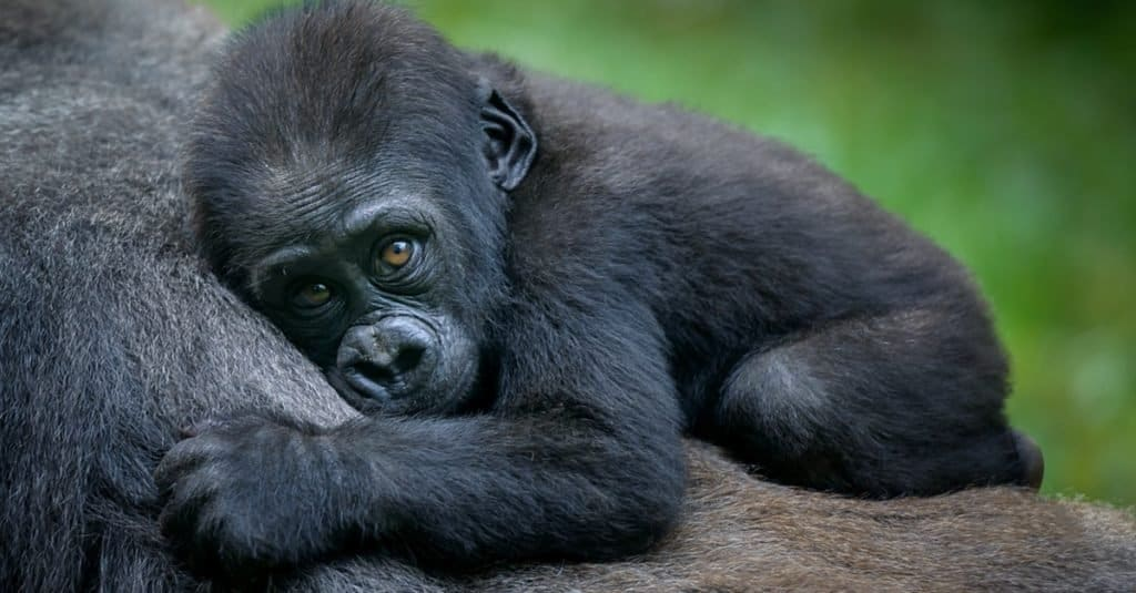 A gorilla baby with its mother.