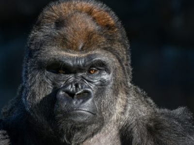 A How Old Is The Oldest Gorilla Ever?