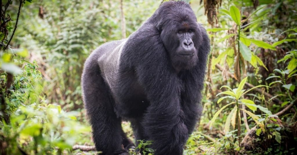 A male silverback mountain gorilla in the Volcanoes National Park, Rwanda