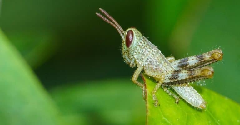 Close up photo of baby grasshopper on green leaf