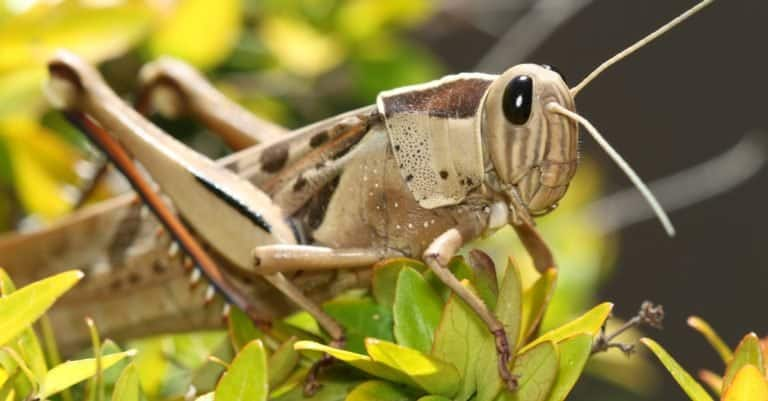 Brown-headed Bird Grasshopper, among the leaves of a Variegated Abelia plant. Western Cape, South Africa.