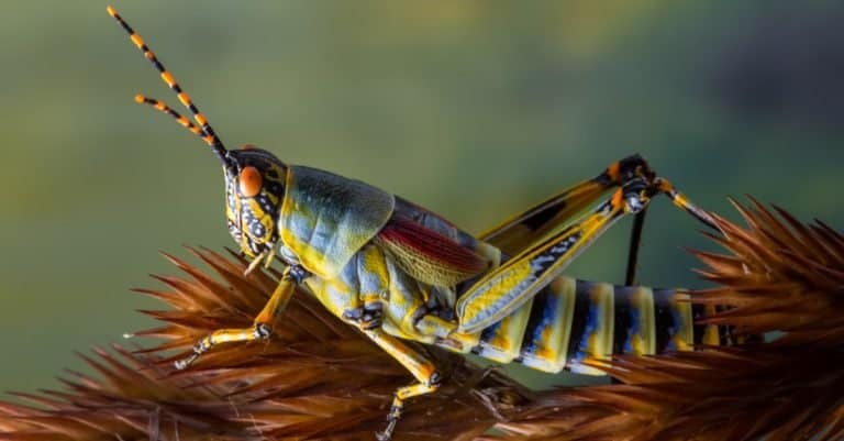 Colorful grasshopper on a dry grass stem against a green foliage background