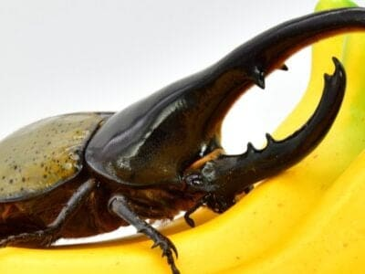 A Hercules Beetle