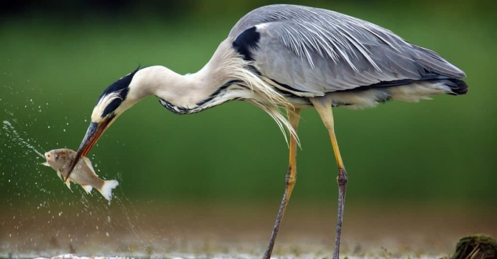 The grey heron (Ardea cinerea) standing and fishing in the water.