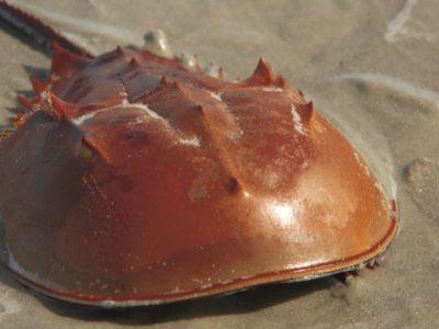 A Horseshoe Crab