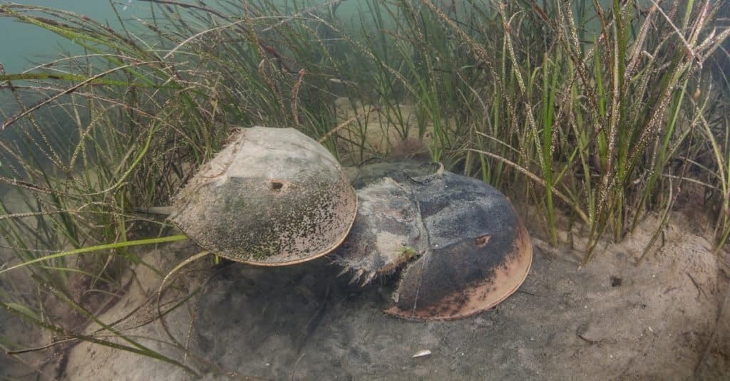 A pair of Atlantic horseshoe crabs (Limulus polyphemus) mate. These crabs are marine chelicerate arthropods commonly found from the Gulf of Mexico up to Canada. They are valuable in medical research.