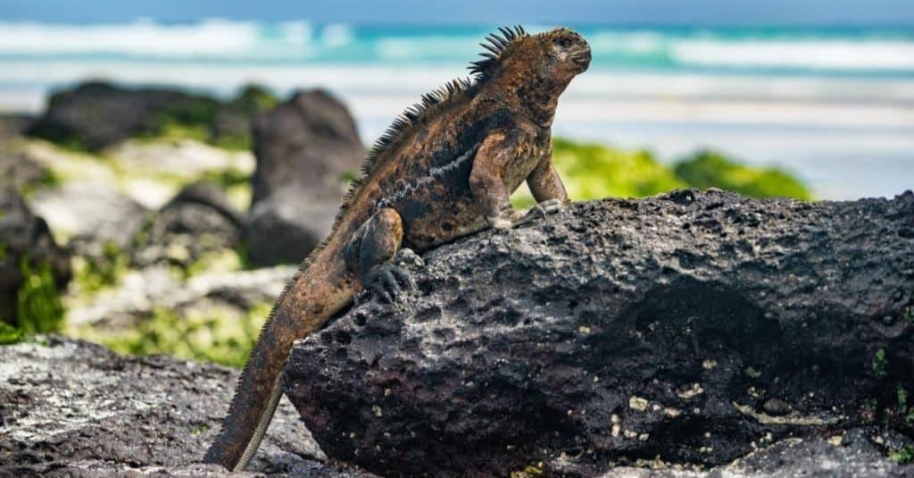 Galapagos Iguana heating itself in the sun resting on rock on Tortuga bay beach, Santa Cruz Island.