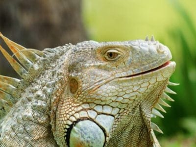 A Iguana