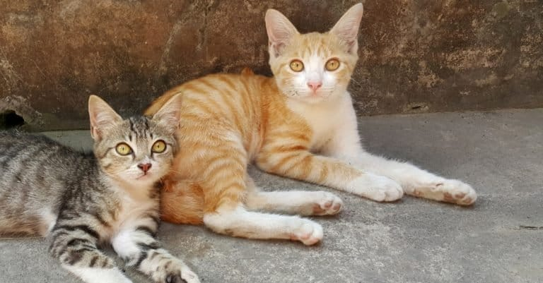 Two Javanese cats resting outside in the garden.