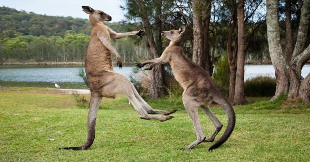 Kangaroo males boxing on the shore of a lake