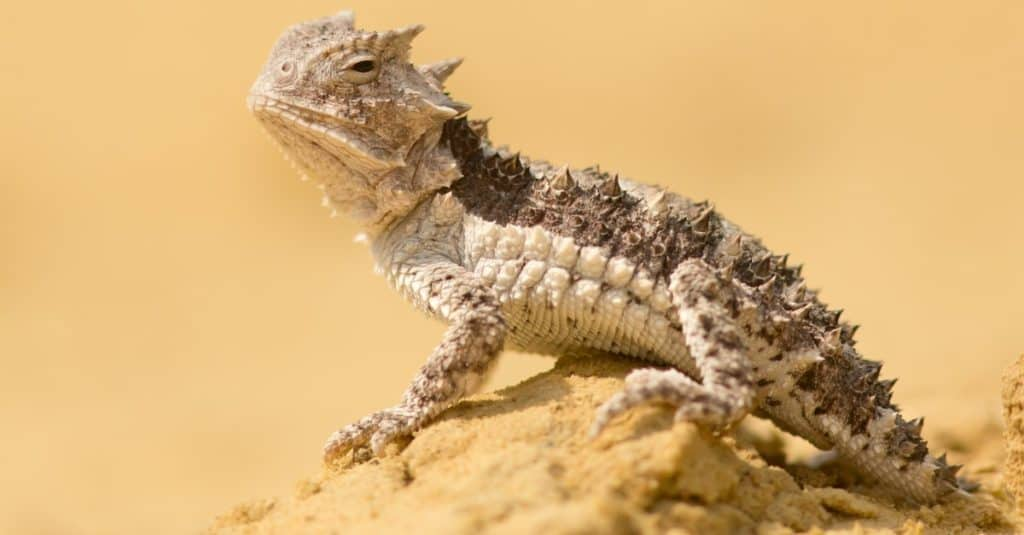 Horned lizard (Phrynosoma), also known as horny toads or horntoads