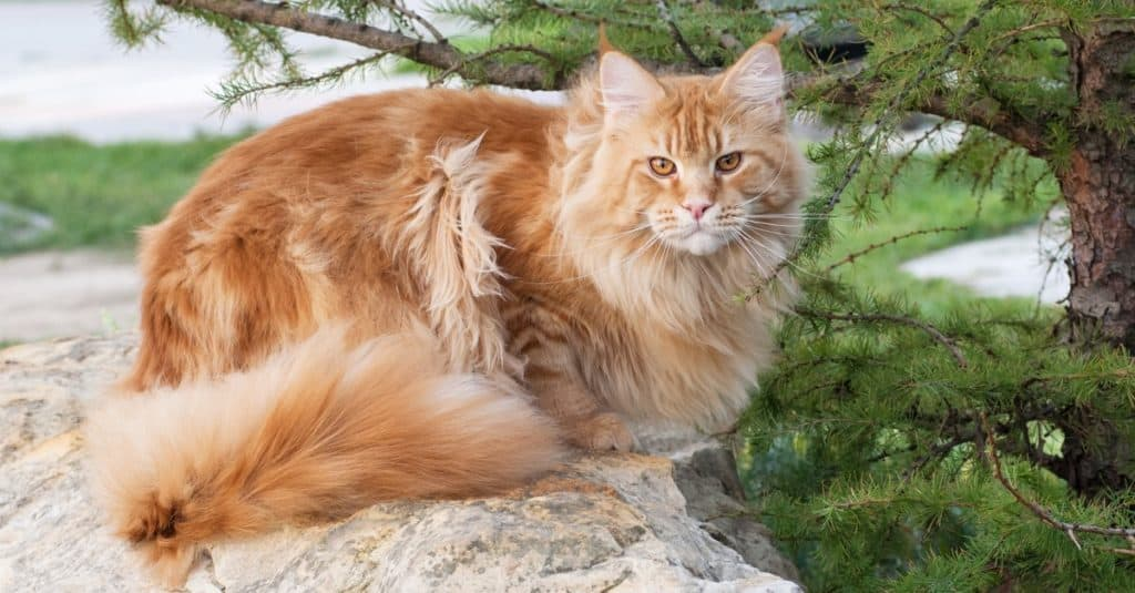 Maine Coon, is the biggest domesticated breed of cat with a distinctive physical appearance and high level hunting skills