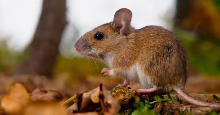 Yellow necked mouse seen from side