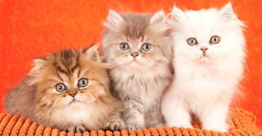 Chinchilla Persian kittens on an orange cushion on orange background.