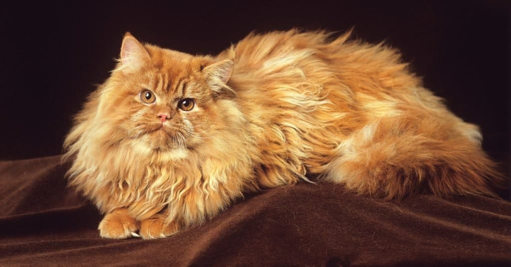 A red Persian cat lying on a table in the studio.