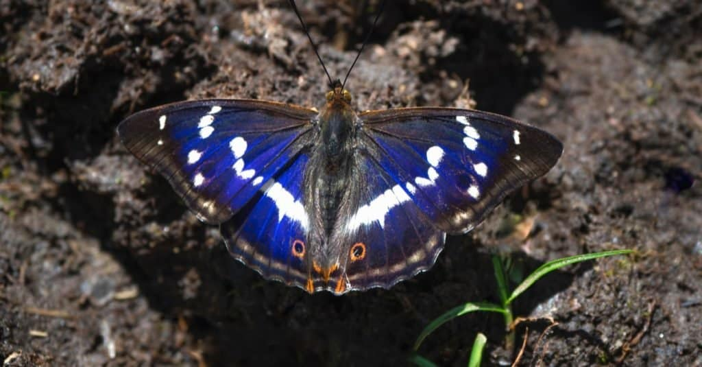 A large Purple Emperor butterfly (Apatura ilia) sits on the land on a sunny summer day.