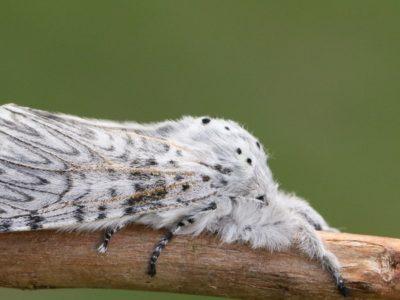 A Puss Moth