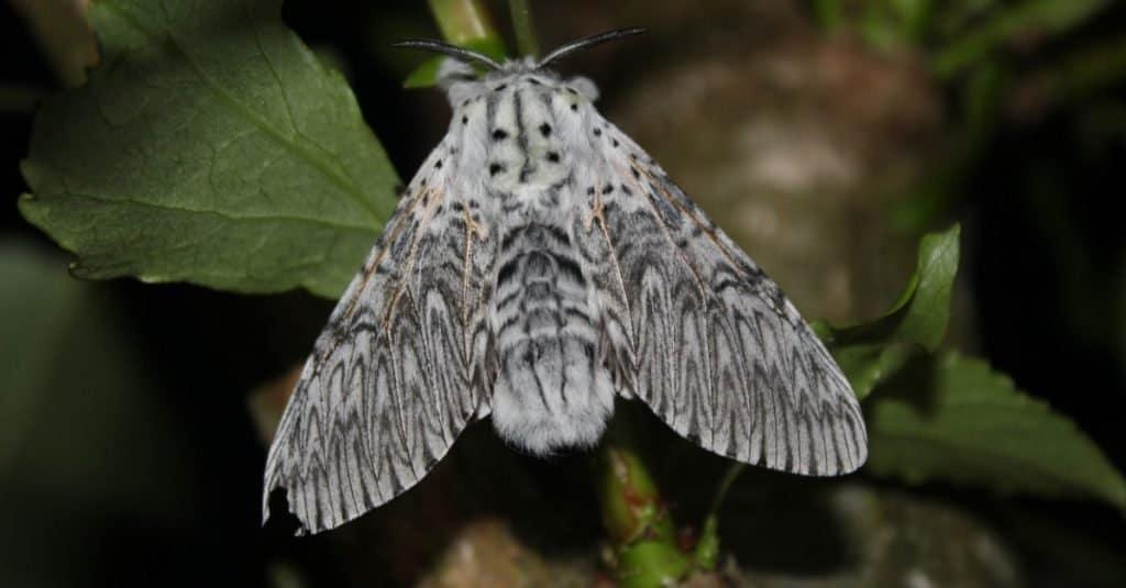 Puss moth, large white moth with dark markings, on Poplar leaf.
