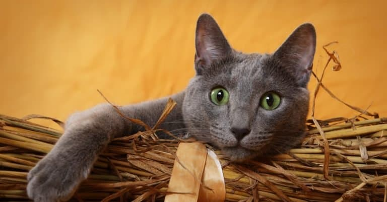 Russian Blue cat lying in a basket.