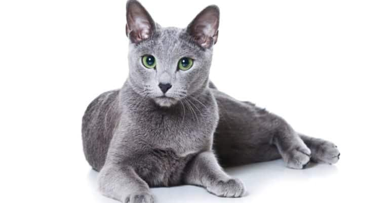 Russian Blue isolated on white background