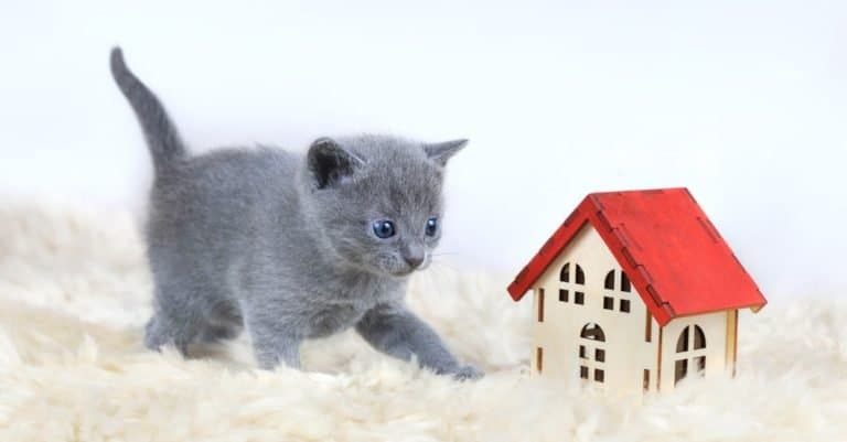 Gray, one month old blue-eyed Russian blue kitten playing near toy house with red roof.