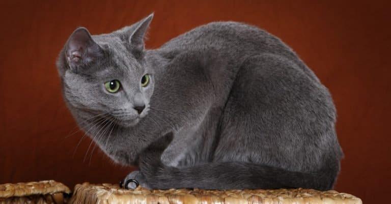 Russian Blue cat sitting on a basket.