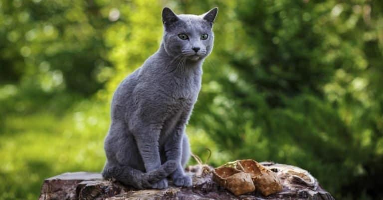 Little grey Russian Blue cat sitting on the rocks in the garden.