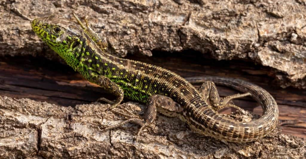 Wildlife portrait of rare Sand lizard (Lacerta agilis) warming up on fallen tree trunk, displaying his vibrant green mating colors.