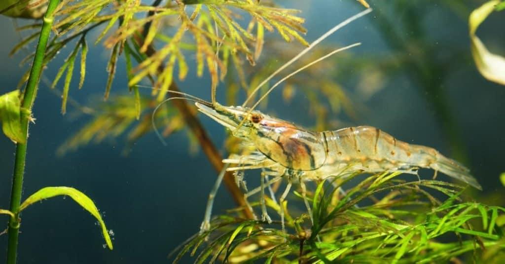 Asian glass shrimp, Macrobrachium lanchesteri, in an aquarium.