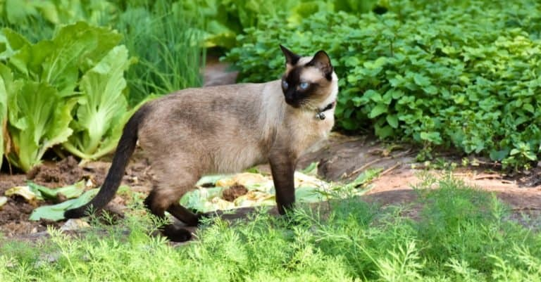 Portrait of blue-eyed Siamese cat hunting in a green garden.