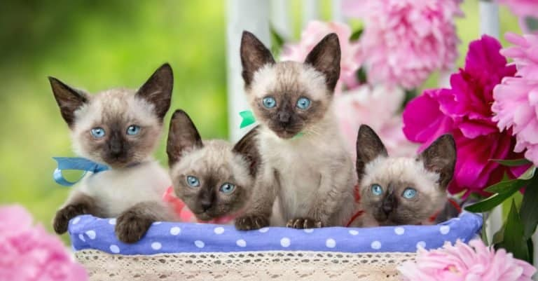 Four Siamese kittens are sitting in a basket on a background of flowers