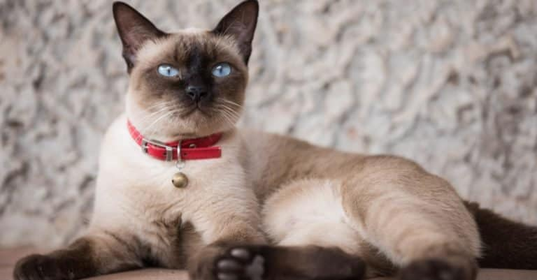 Siamese cat lying on a table.
