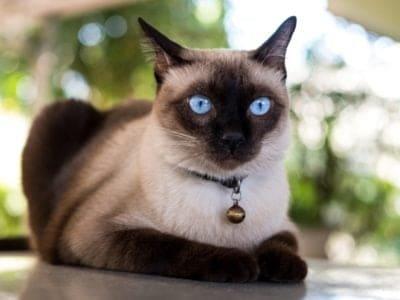 Siamese Cat Breed Complete Guide   AZ Animals