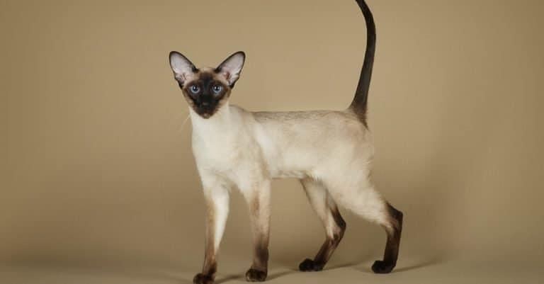 Oriental Siamese cat standing in the studio.