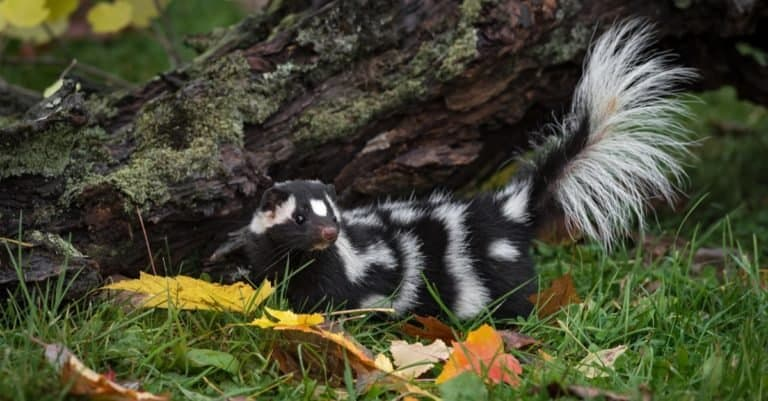 Eastern Spotted Skunk (Spilogale putorius) tail lifted near log.