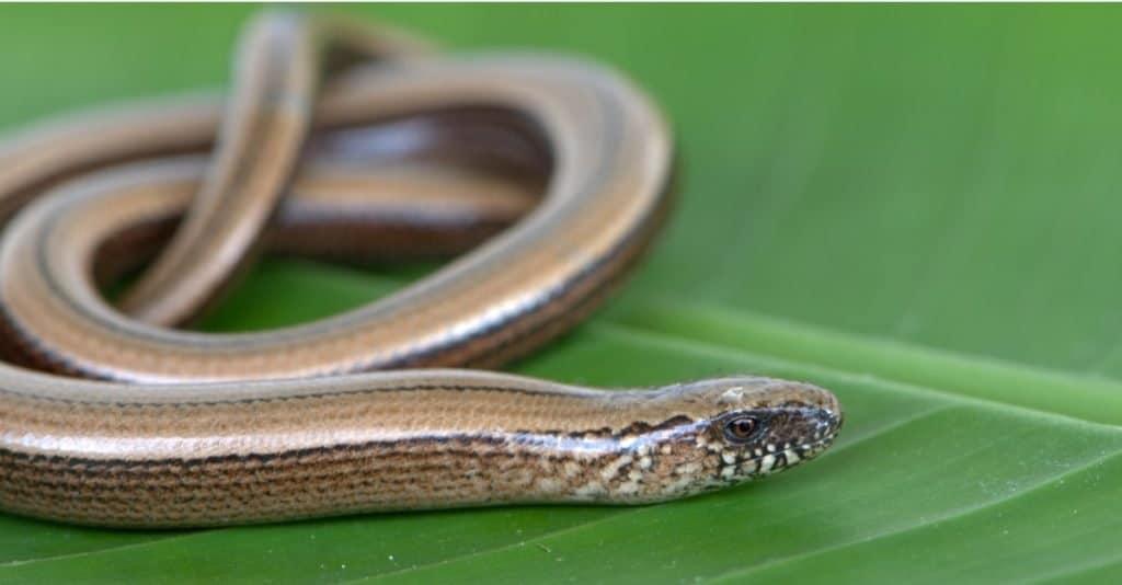 Slow worm basks on a green banana leaf