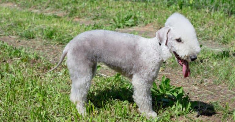 Bedlington Terrier standing in the grass