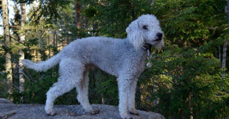 Bedlington Terrier standing on a rock