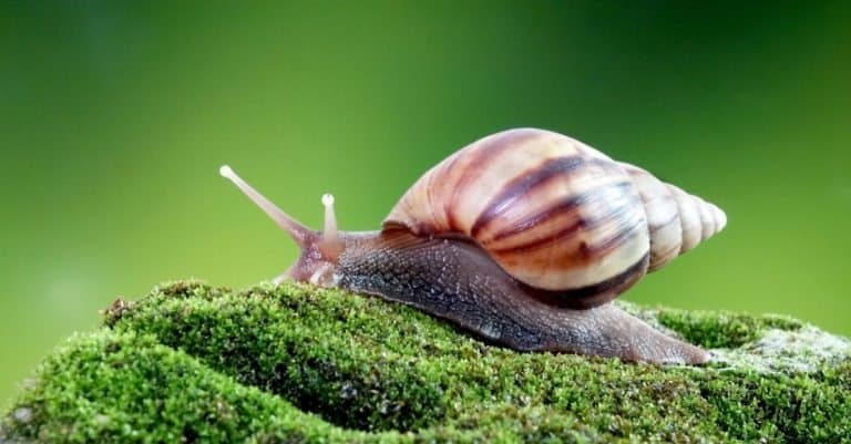 Giant African land snail on moss