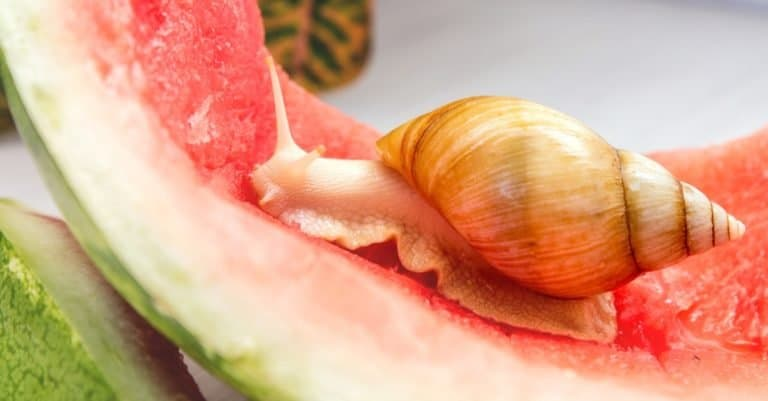 Giant African Land Snail crawling on a red watermelon peel
