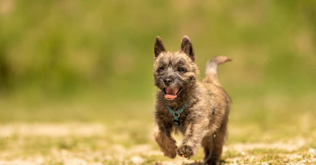Cairn Terrier puppy running down the road