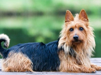 A Australian Terrier