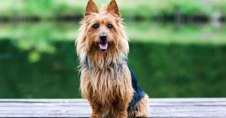 Australian Terrier sitting near a lake