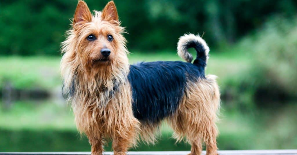 Australian Terrier standing at attention