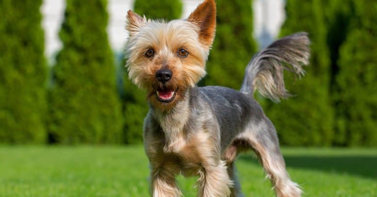 Australian Terrier puppy standing at attention