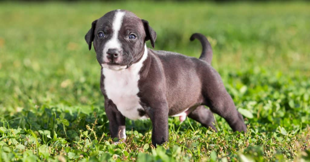 American Staffordshire Terrier puppy standing in the grass while out playing
